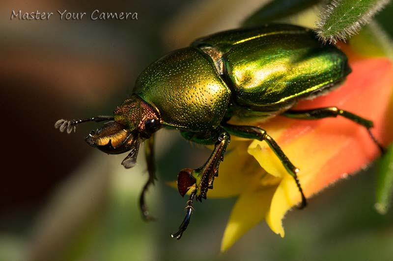 Golden Stag Beetle Blackburn