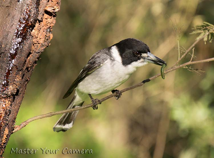 butcher bird with caterpillar