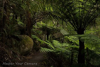 Tree Fern Path